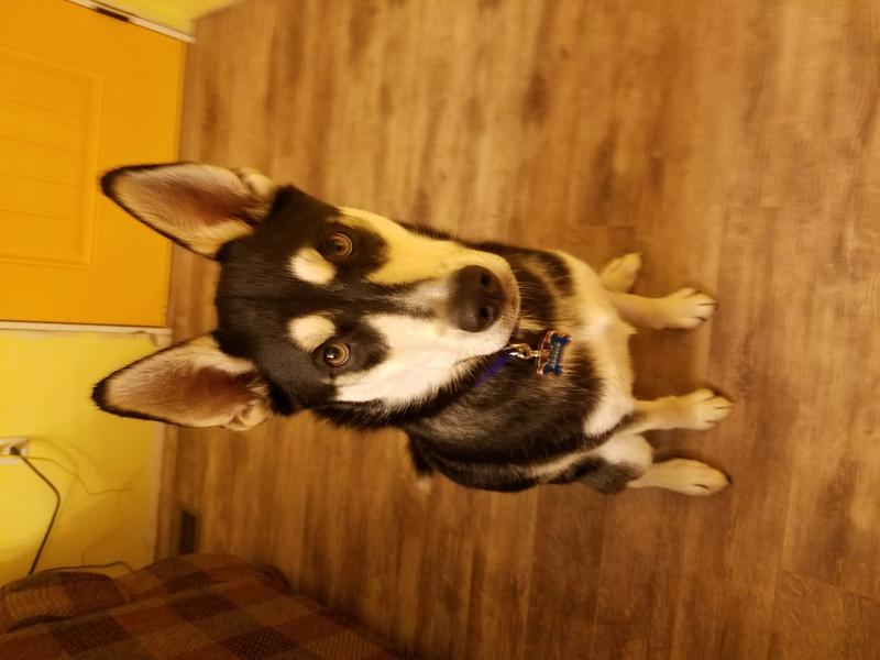 Help me identify my husky? 20161213