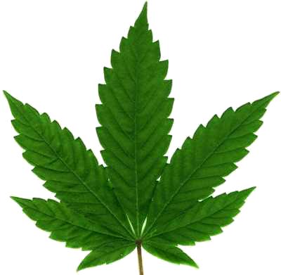 Regras para plantações de Cannabis Sativa (Maconha) Cannab10
