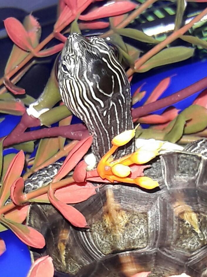Mauremys sinensis  20161011