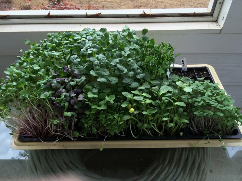microgreens - Microgreens Gardening - Page 8 Microg10
