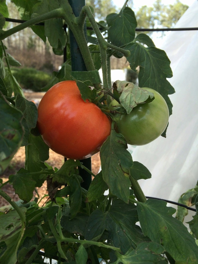 2017 SFG in Brooks, Ga Tomato12