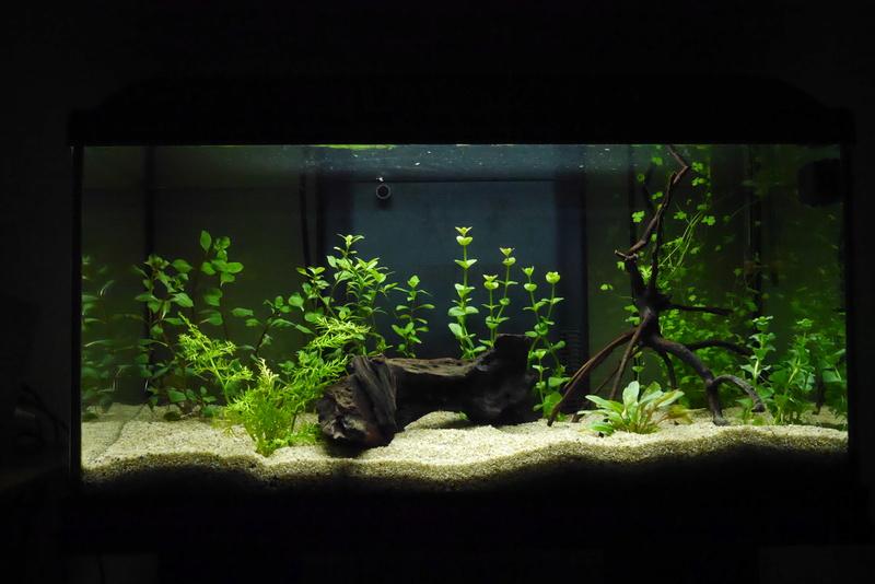 Nouvel aquarium 54l P1330711