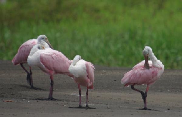 Les oiseaux sauvage du Costa Rica Spatul10