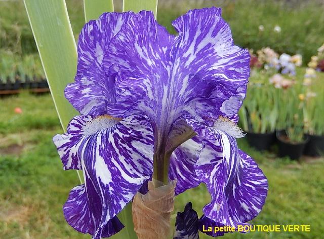Iris broken color Batik_10