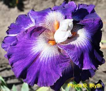 Iris 'Chaos Theory' - Barry Blyth 2014 Chaos_10