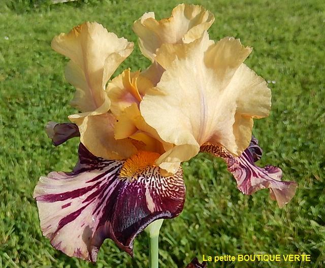 Iris broken color Ziggy_10