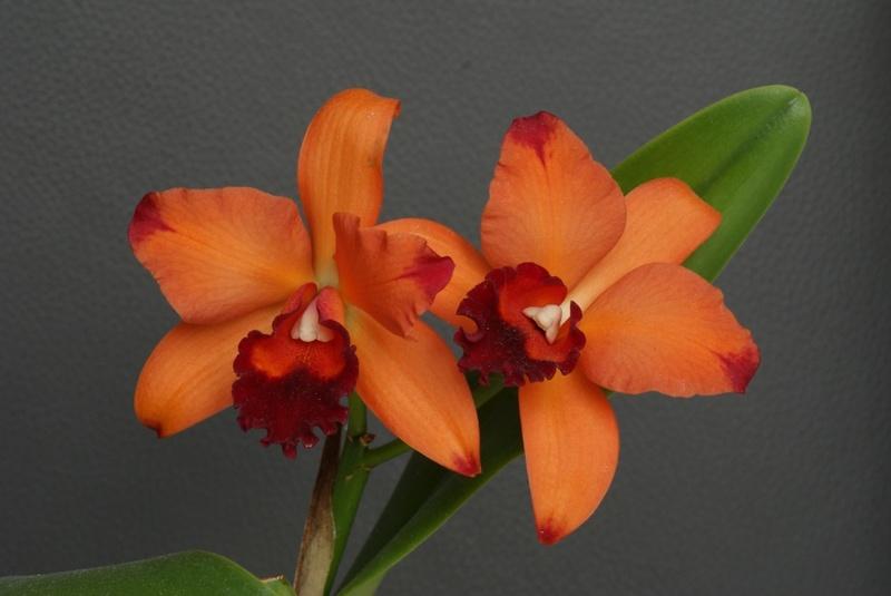 es blüht NUR eine Hybride - Seite 29 Orchid14