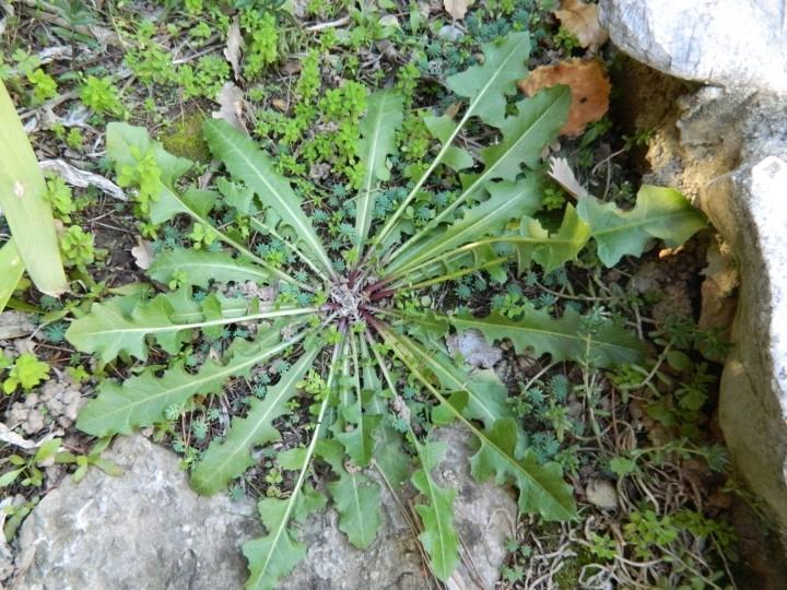 Grande rosette basale à fleurs jaunes  Dscn1113