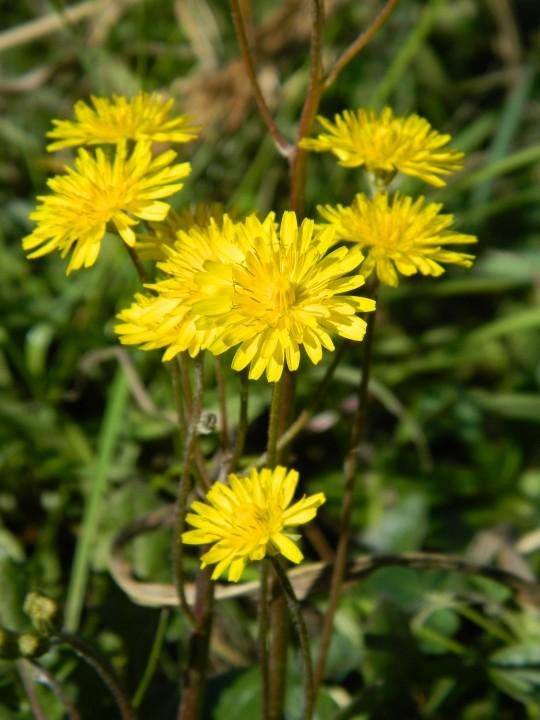 Grande rosette basale à fleurs jaunes  Dscn9912