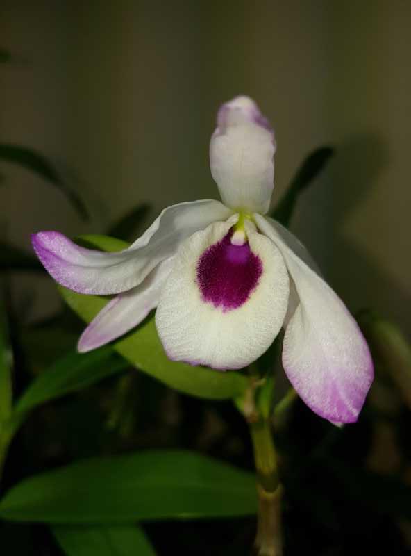 Dendrobium nobile - Seite 2 K800_210