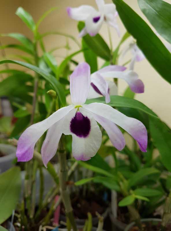 Dendrobium nobile - Seite 2 K800_211