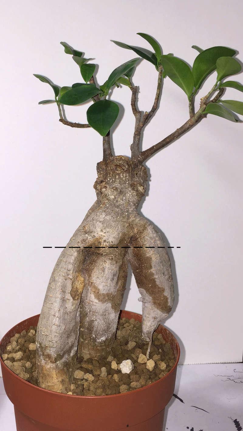 Separazione Ficus Ginseng Bon110