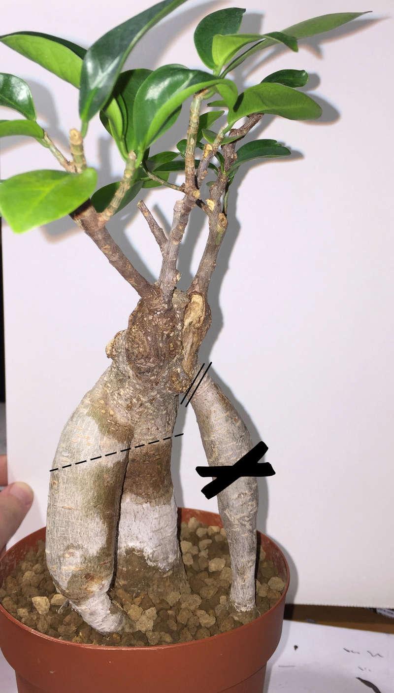 Separazione Ficus Ginseng Bon210