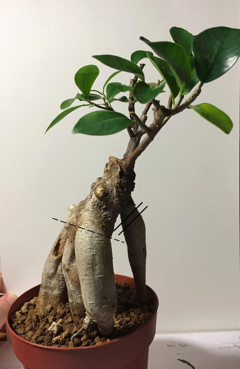 Separazione Ficus Ginseng Bon310
