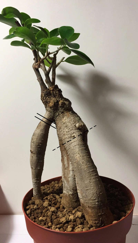 Separazione Ficus Ginseng Bon410