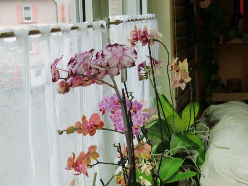 Generell zu Baumarktorchideen 00210