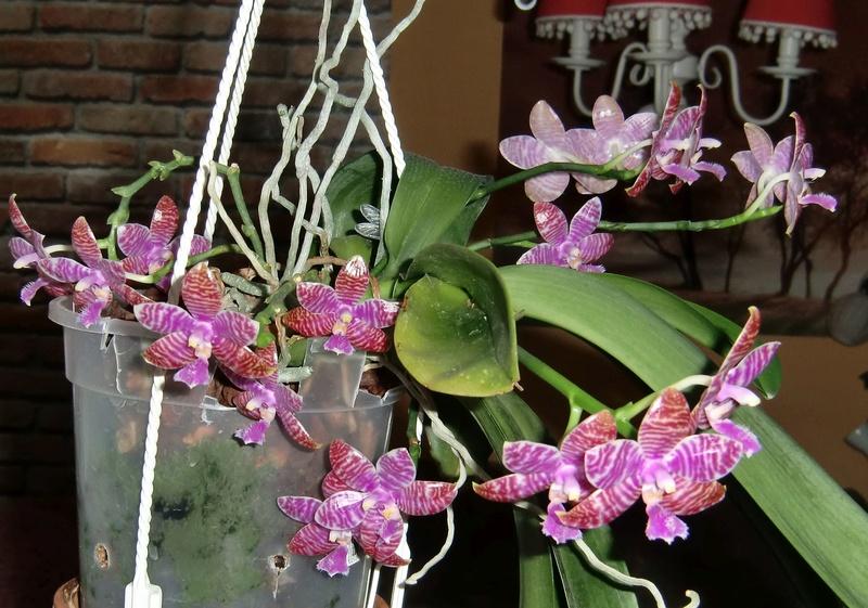 Phalaenopsis lueddemanniana....eine Zicke? Mitnichten! - Seite 3 006_610