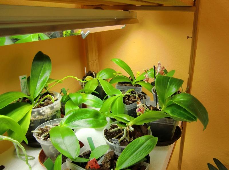 Orchideen und Kunstlicht/Zusatzlicht Li210