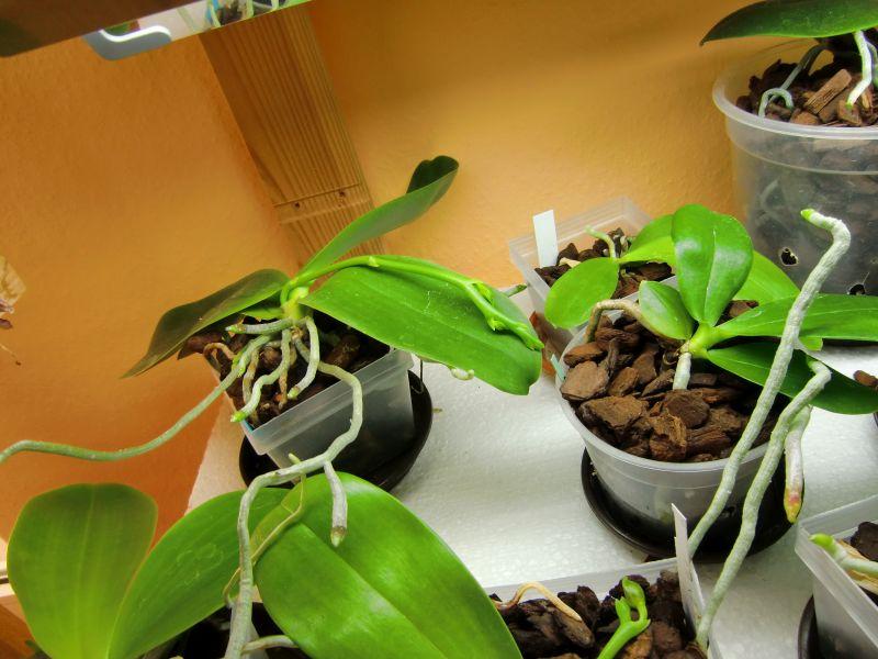 Orchideen und Kunstlicht/Zusatzlicht Li310