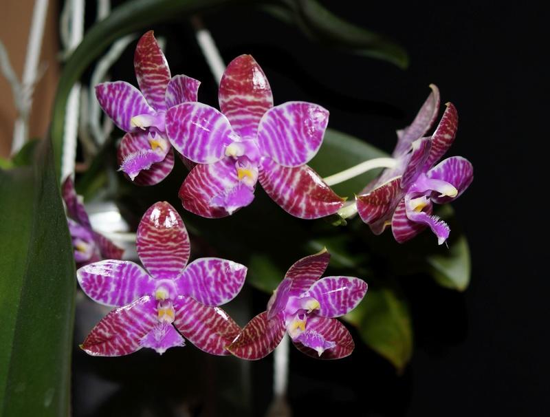 Phalaenopsis lueddemanniana....eine Zicke? Mitnichten! - Seite 3 Lu510