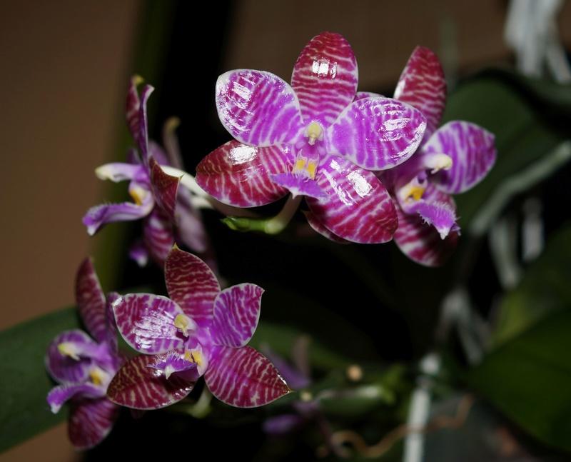 Phalaenopsis lueddemanniana....eine Zicke? Mitnichten! - Seite 3 Lu710