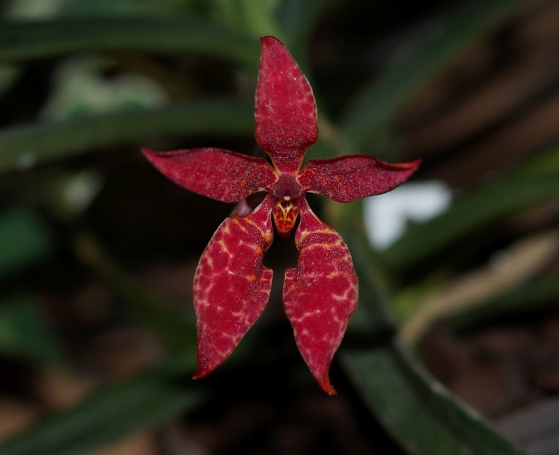 Renanthera bella R110