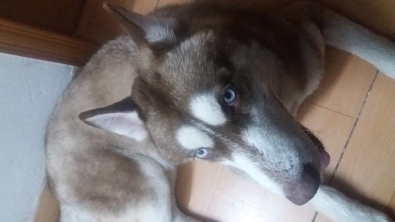 What breed of husky is our rescue? 20170211