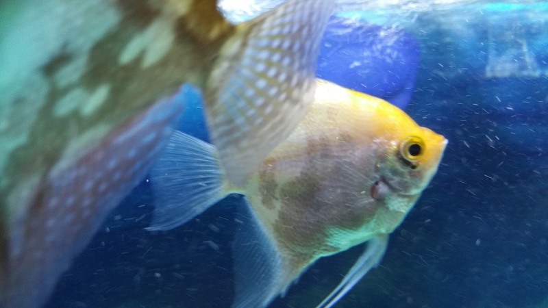 Angelfish Green Growth on Eye HELP!! 20170218