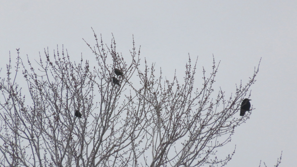 Oiseau noir Img_3010