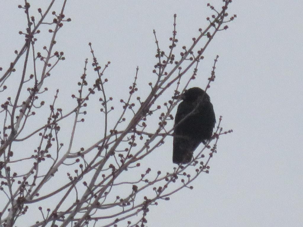 Oiseau noir Img_3012