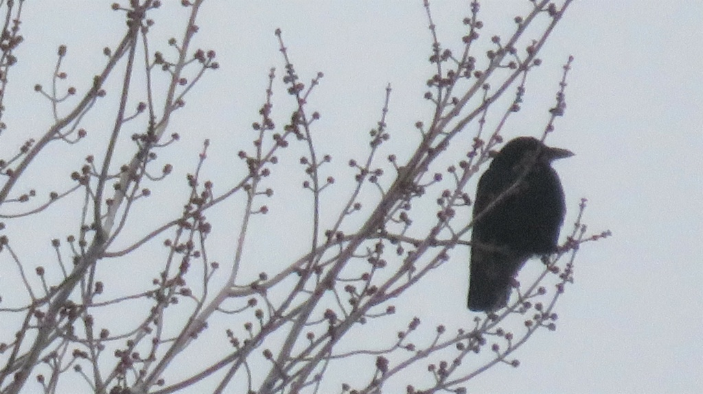 Oiseau noir Img_3013