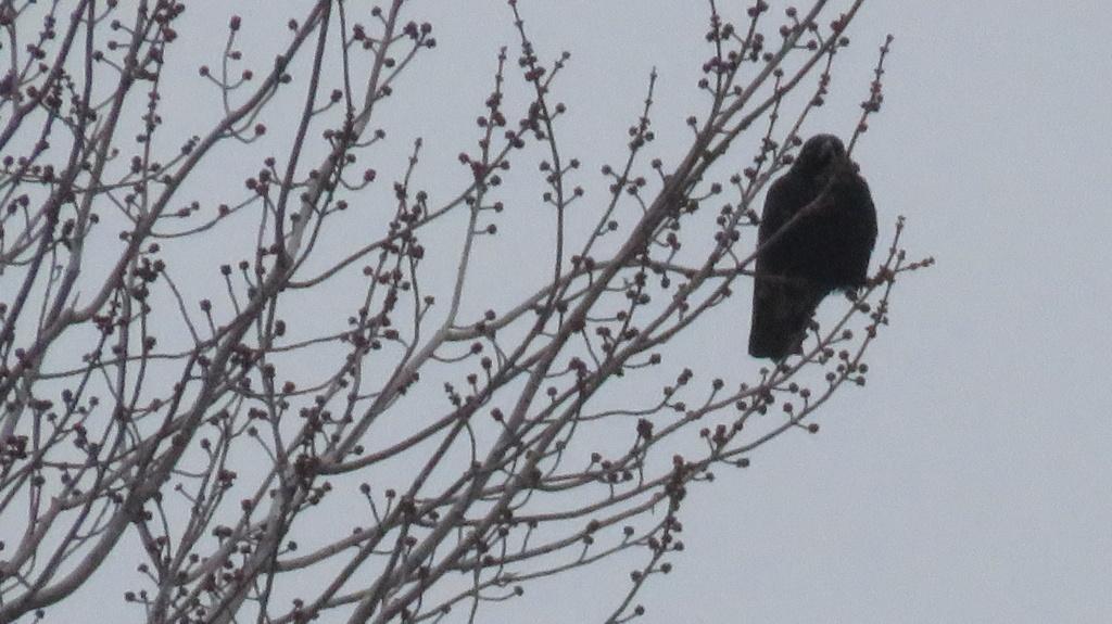 Oiseau noir Img_3015