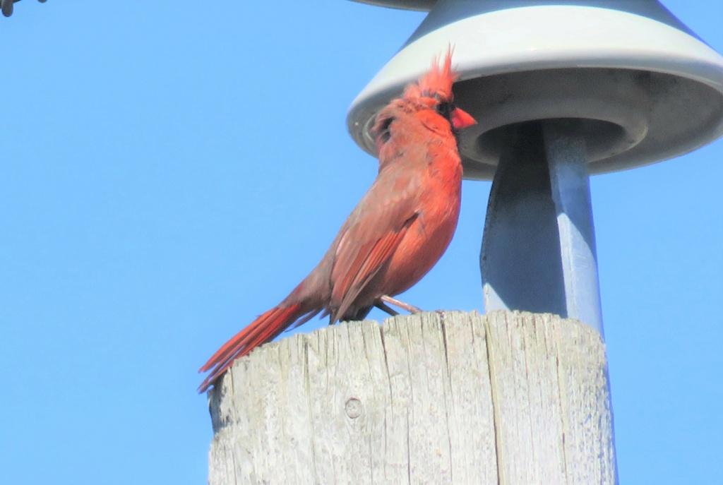 Cardinal rouge mâle Img_3710
