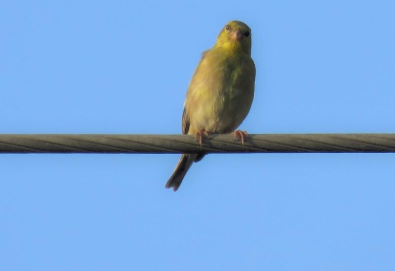 Chardonneret jaune femelle Img_4810