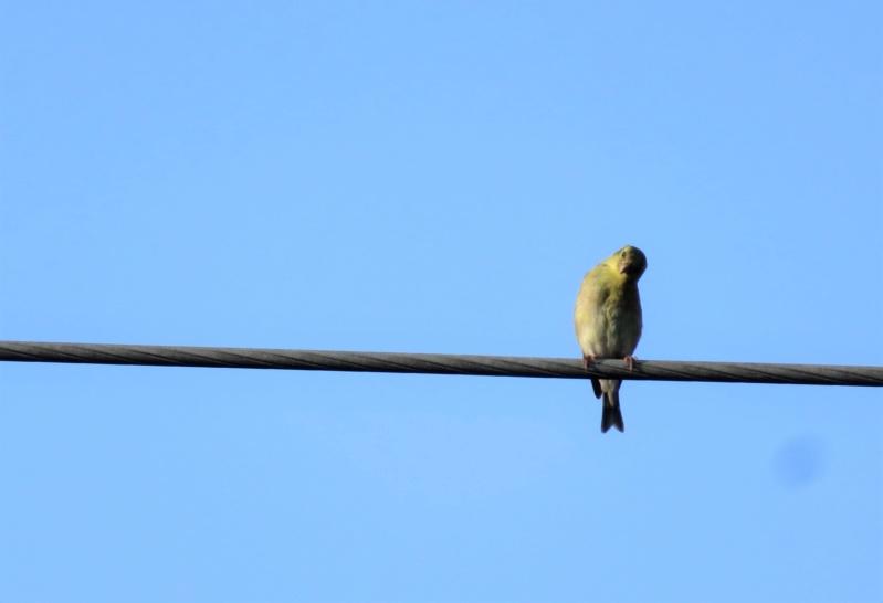 Chardonneret jaune femelle Img_4811