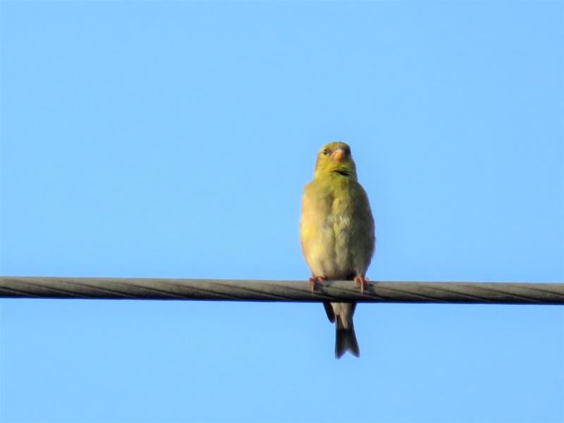 Chardonneret jaune femelle Img_4812