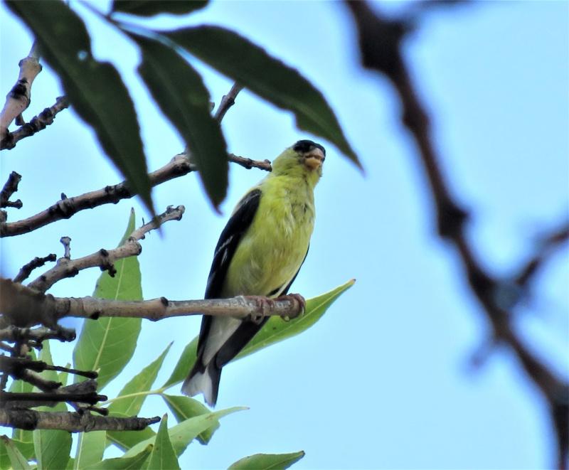 Chardonneret jaune, le mâle cette fois Img_4911