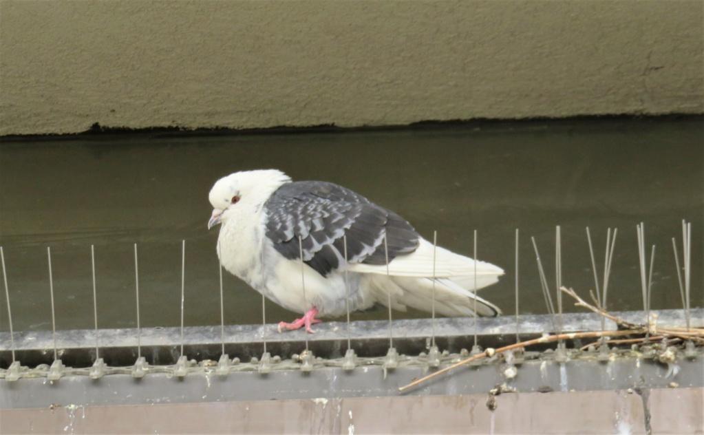 Couple de Pigeons bisets, au nid  Img_5326
