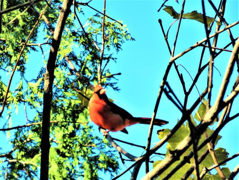 Cardinal rouge Img_5913
