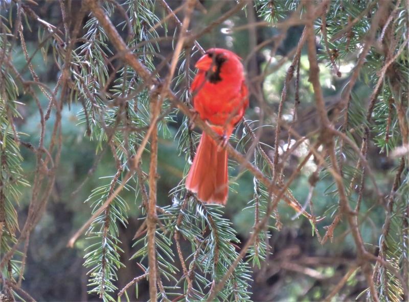Cardinal rouge Img_8212