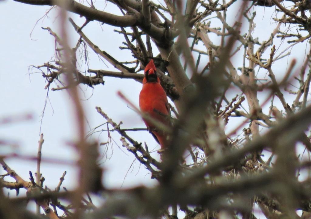 Cardinal rouge Img_9210