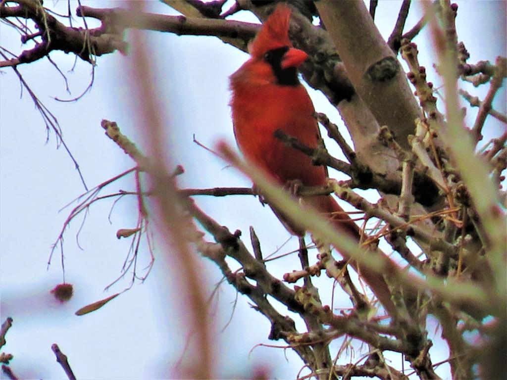Cardinal rouge Img_9213