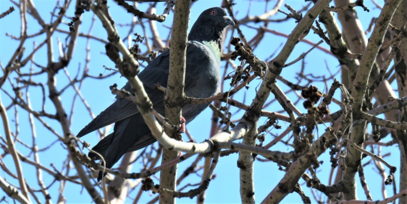 Pigeon biset Img_9510