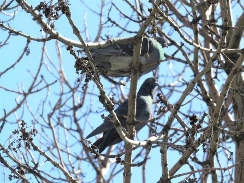 Pigeon biset Img_9610