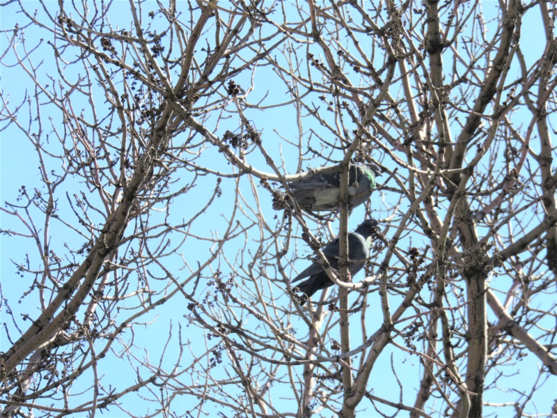 Pigeon biset Img_9611