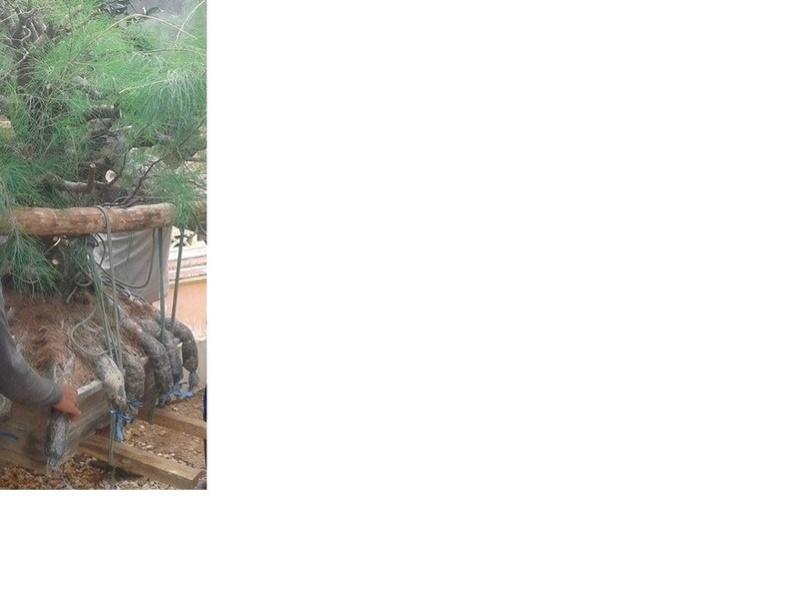 Casuarina Equisetifolia (Cemara Udang or Mu Ma Huang) - Page 5 Casuar11