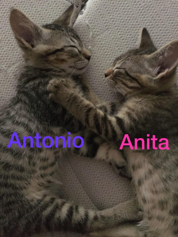ANTONIO - TIGRE - EN FA EN SUISSE Antoni11