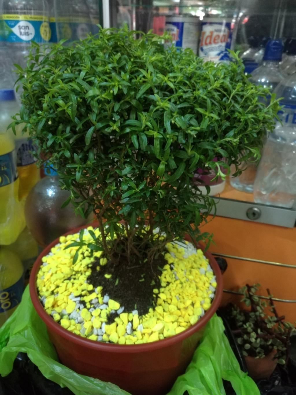 Ayuda necesito saber el nombre de mi bonsai  Img_2011