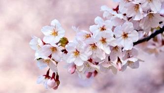 Bonne Fête Follitude Sakura10