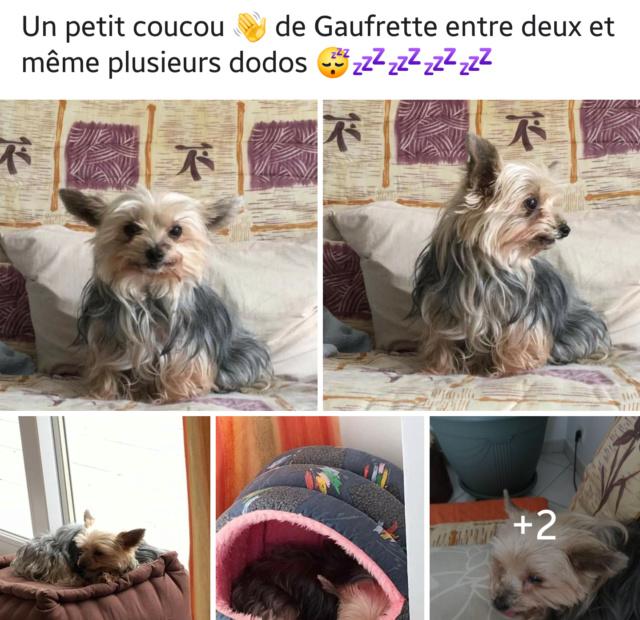 GAUFRETTE, yorkinette de 7 ans, réformée d'élevage 20190424